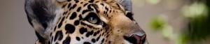 banner-jaguar.jpg