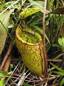 220px-Nepenthes_palawanensis1
