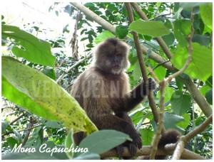 Mono Capuchino,