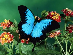 Mariposa Azul 17_800