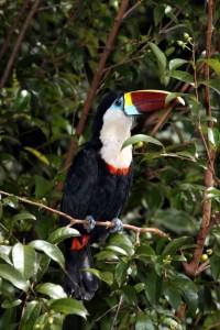 Tucán, foto Gaby Carías, Venezuela