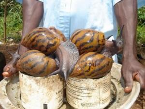 caracoles-gigantes-africa-10_500x375