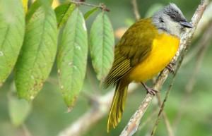 Gray-headed Tanager (Bachaquero), Venezuela, Edglorys