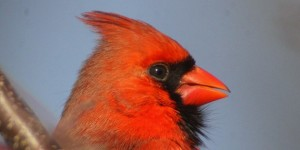 Northern-Cardinal-for-GBBC-630x315