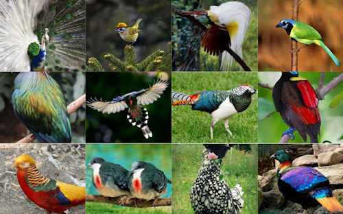 aves-del-paraiso-birds-of-the-paradise