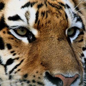 imagenes-animales-tigres-p