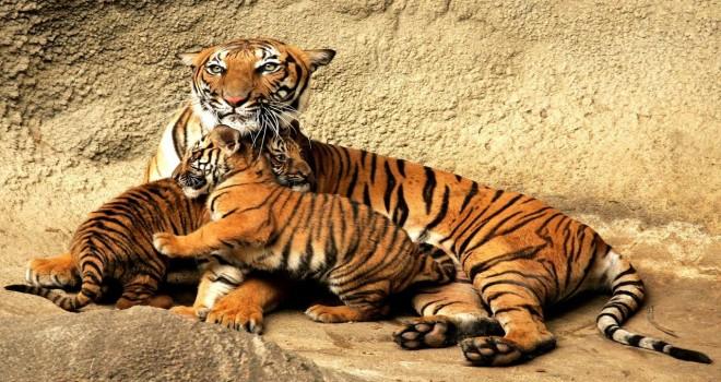 tigre-del-bengala-2-1280x800-660x350