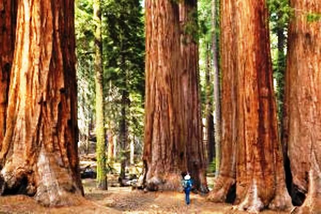 Sequoias, California, USA