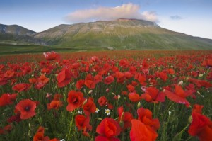 Poppies and mount Vettore, Sibillini NP Umbria Italy