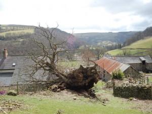Pontfadog Oak has been knocked down by the wind,  Wales