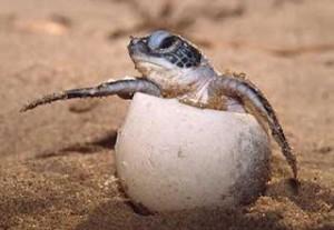 tortuga-carey