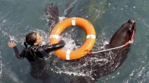 Entrenamiento-leones-marinos-labores-rescate_TINIMA20130709_0568_5