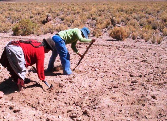 El cultivo de la quinoa es muy versátil. Foto: www.eldiario.net