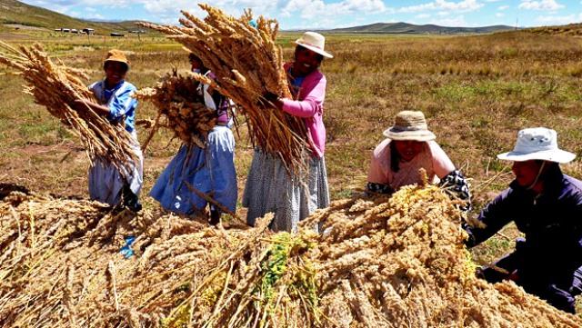 Las mujeres, principales promotoras del cultivo de la quinoa. Foto: agrovalleperu.blogspot.com