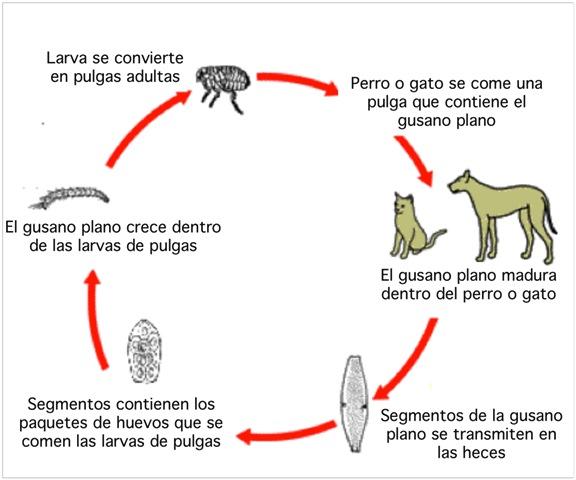 Ciclo de algunos parásito