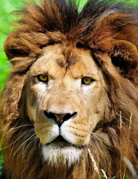 Neron, el león, foto F.Grandin/MNHN