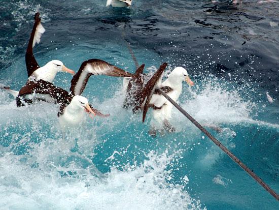 Los albatros corren grave riesgo de ser atrapados por las redes pequeras