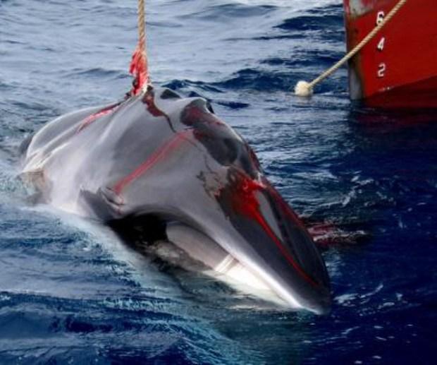 Terrible costumbre la cacería de ballenas