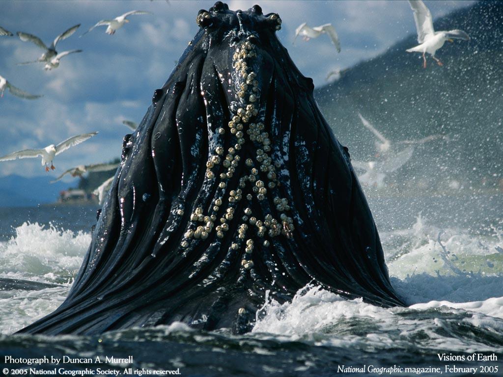 La hermosa naturaleza de las ballenas en libertad.