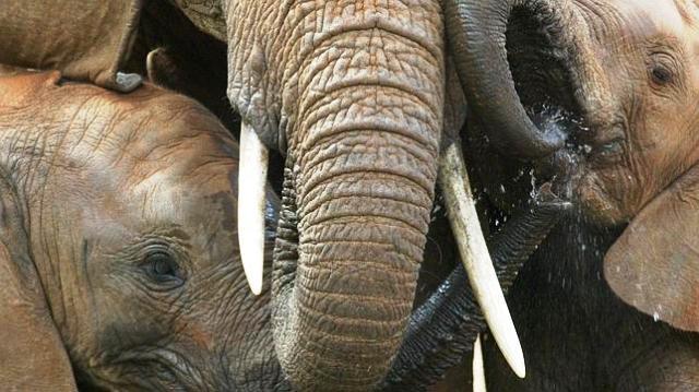 Elefantes en el parque nacional de Masai Mara, Kenya
