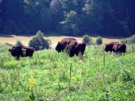 Vanatori-Bisonte Europeo