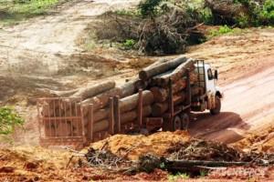 Camiones cargados de madera. Foto Greenpeace