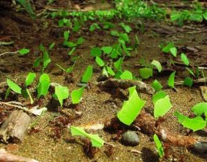 Trasladando hojas para alimentar hongos de los que se alimentan en sus hormigueros.