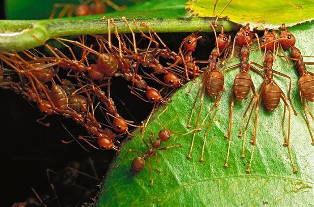 Para construir un nido, estas hormigas tejedoras de Malaysia deben juntar unas hojas con otras. Foto Globedia