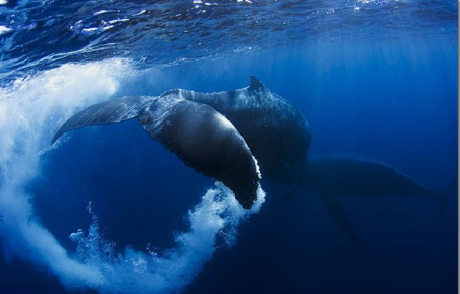 Ballenas geoingenieros del océano