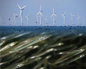 Granjas eólicas atraen peces