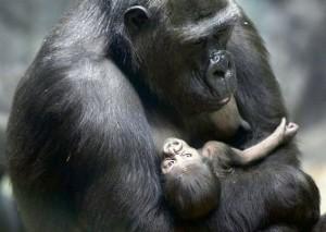 Gorila con su cría en Zoo Moscú