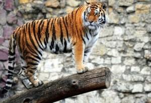 Hermoso ejemplar felino del Zoo de Moscú