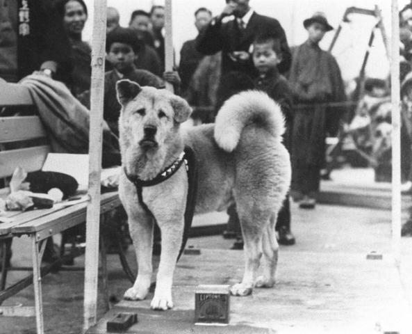 Hachikō fue un perro japonés de raza akita, recordado por su lealtad a su amo, el profesor Eisaburō Ueno, incluso varios años después de la muerte de este