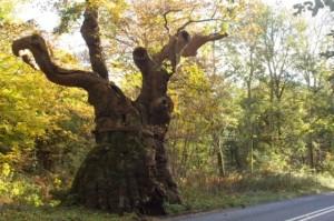 3-arbolBig Bellied Oak- Wiltshire Foto Isobel Cameron-Forestry