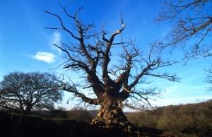 7-arbol-Whiteleaved Oak- Herefordshire Foto-Woodland Trust
