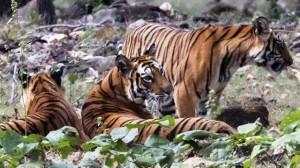 Defender a los tigres es una tarea ardua