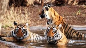 Los tigres en La India aumentan en cantidad