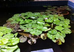 El jardín acuático en la sede de la Sociedad Venezolana de Ciencias Naturales. Foto Marisela Valero