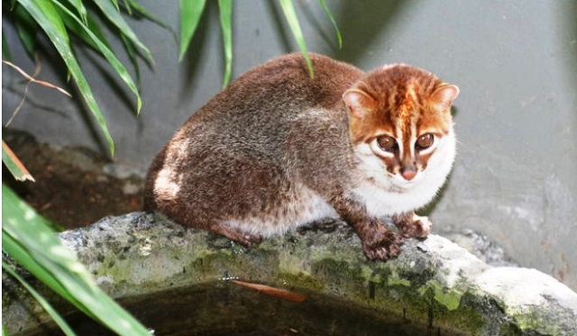 Gato de Borneo, Cabeza Plana