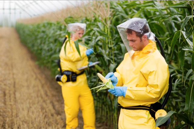 Agricultores muy protegidos verificando toxicidad del maiz transgenico de Monsanto