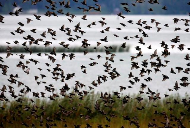 RAPPERSWIL (SUIZA) 04/09/07. Una bandada de estorninos vuela sobre una zona pantanosa cerca de Rapperswil en el lago de Zúrich, Suiza, hoy martes 4 de septiembre, en su camino hacia el sur en busca de tierras más cálidas. EFE/Steffen Schmidt