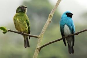 Azulejos Golondrinas. Foto Edglorys Maris