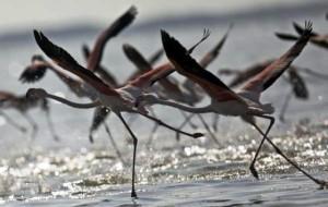 Las-aves-migratorias-visitan-Refugio-Miankaleh-de-Vida-Silvestre-en-Irán