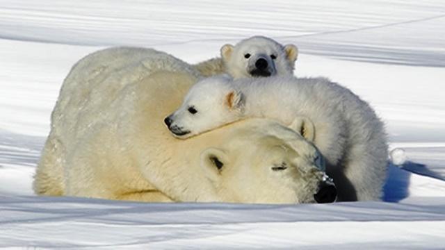 oso-polar-cubs