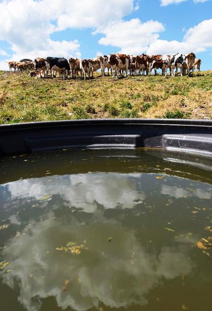 Aliadas en la productividad suiza, las vacas tienen que cuidarse. Foto:informactiva.mx
