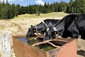 Vacas saciando su sed,ayudadas por el ejército suizo