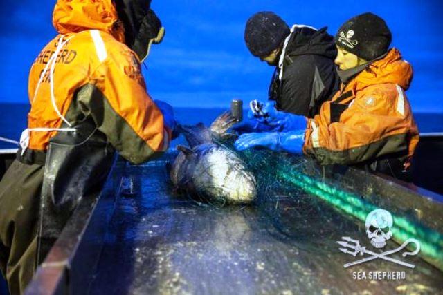 Quitando las redes mortales de pescadores.