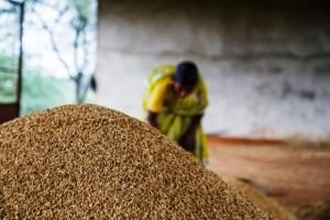rice-yields