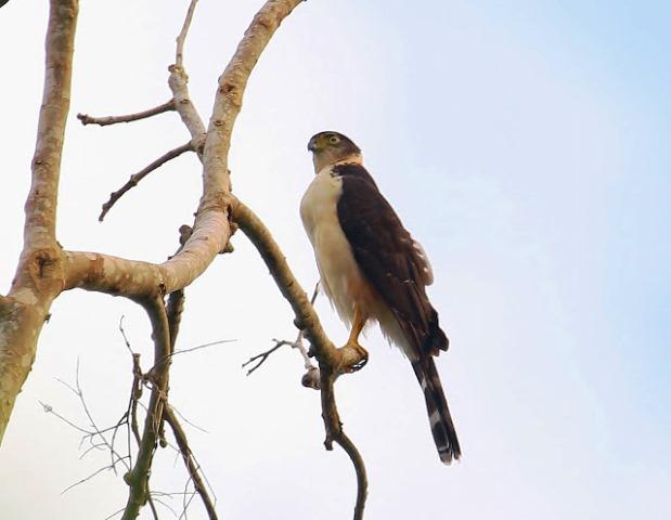 Gavilán Pantalón, Accipiter bicolor. Foto Margareta Wieser