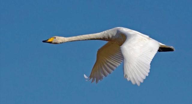 Cisne cantor. Foto Jari Peltomaki NaturaGate
